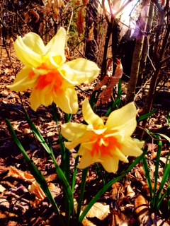 Early spring ruffled daffodils, from Roane County Tennessee bulbs